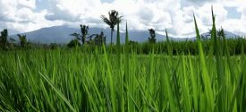 rice fileds bali 2016